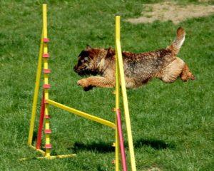 飛躍を見せる犬